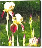 Iris In Watercolor Acrylic Print