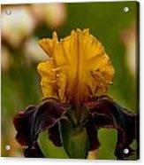 Iris Pictures 149 Acrylic Print