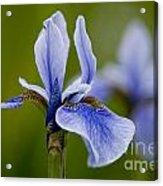 Iris Pictures 185 Acrylic Print