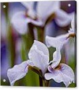 Iris Pictures 195 Acrylic Print
