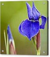 Iris Pictures 219 Acrylic Print