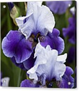 Iris Purple And White Fine Art Floral Photography Print As A Gift Acrylic Print