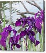 Iris Purple Lavender Acrylic Print