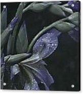 Iris Rain Acrylic Print