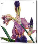 Watercolor Of A Tall Bearded Iris In A Color Rhapsody Acrylic Print