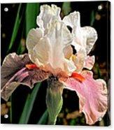 Iris White To Pink Acrylic Print