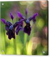 Irises Depth Acrylic Print