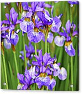 Irises Acrylic Print by Elena Elisseeva