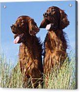 Irish Red Setter Dog Acrylic Print