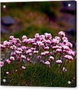 Irish Sea Pinks Acrylic Print