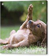 Irish Setter Puppy Acrylic Print