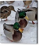 Isabella's Ducks Acrylic Print