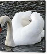 Isar Swan Acrylic Print