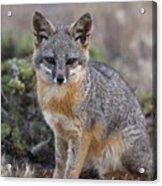 Island Fox California Acrylic Print