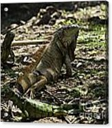 Island Lizards Four Acrylic Print
