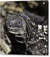 Island Lizards One Acrylic Print