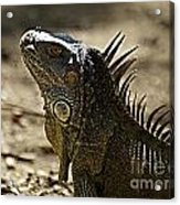 Island Lizards Three Acrylic Print
