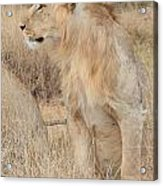 Isolated Lion Staring Acrylic Print