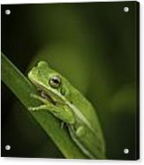 It Ain't Easy Being Green Acrylic Print