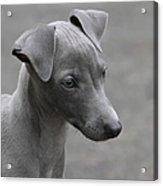 Italian Greyhound Puppy Acrylic Print