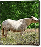 Itchy Horse Acrylic Print