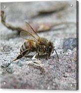 It's A Hard Life Little Bee Acrylic Print