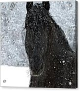 It's Friesian Out Here Acrylic Print
