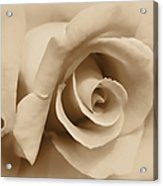 Ivory Brown Rose Flower Acrylic Print