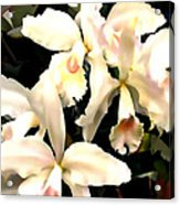 Ivory Cattleya Orchids Acrylic Print