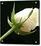 Ivory Rose Bud Acrylic Print
