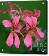 Ivy Geraniums Acrylic Print