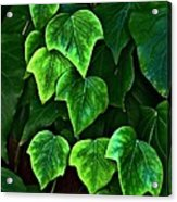 Ivy Leaves Acrylic Print