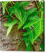 Ivy Wrapped Tree Trunk Acrylic Print