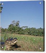 Jacare Caiman In Marshland Pantanal Acrylic Print