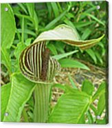 Jack In The Pulpit - Arisaema Triphyllum Acrylic Print