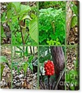 Jack-in-the-pulpit Wildflower    Arisaema Triphyllum Acrylic Print