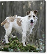 Jack Russell Dog In Autumn Setting Acrylic Print