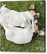 Jack Russell Puppies Acrylic Print