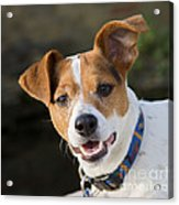 Jack Russell Terrier Acrylic Print
