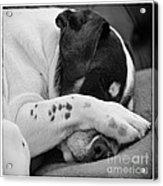 Jack Russell Terrier Dog Asleep In Cute Pose Acrylic Print by Natalie Kinnear