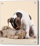 Jack Russell Terrier Puppy And Kitten Acrylic Print