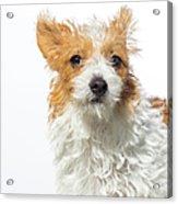 Jack Russell Terrier - The Amanda Acrylic Print