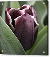 Jackpot Tulip Acrylic Print