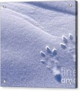 Jackrabbit Tracks In Snow Acrylic Print
