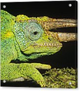 Jacksons Chameleon Male East Africa Acrylic Print