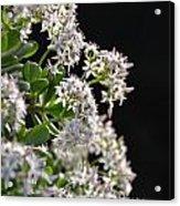 Jade Plant Flowers Acrylic Print