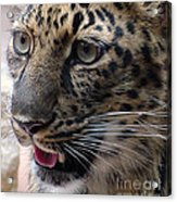 Jaguar-09498 Acrylic Print