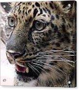 Jaguar-09499 Acrylic Print