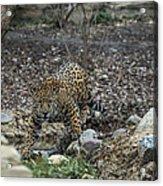 Jaguar 4 Acrylic Print
