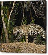Jaguar Cuiaba River Brazil Acrylic Print